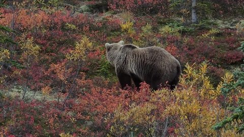 A grizzly bear foraging in the fall color of Denali National Park, Alaska.