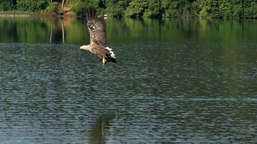fishing eagle slow motion