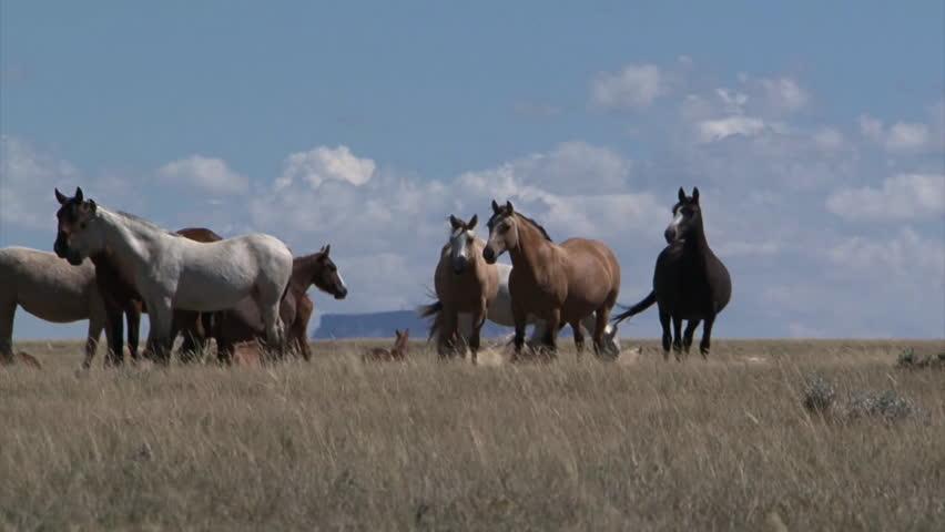 CIRCA 2010s - Wild horses graze in open rangeland in Wyoming. | Shutterstock HD Video #7113388