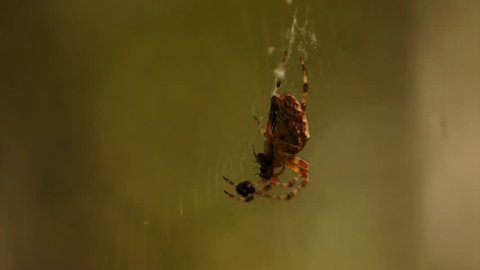 The spider just caught the second fly, trying to defuse it