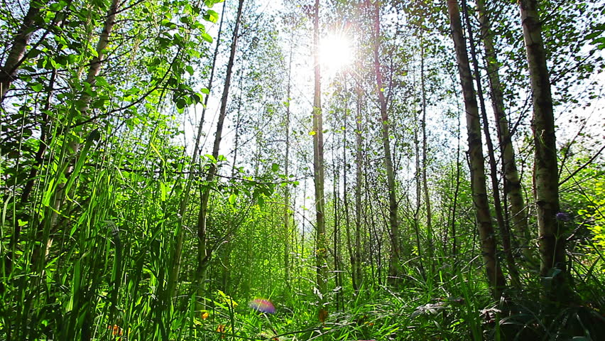 Morning in the forest. the sun's rays pass through trees | Shutterstock HD Video #7166428