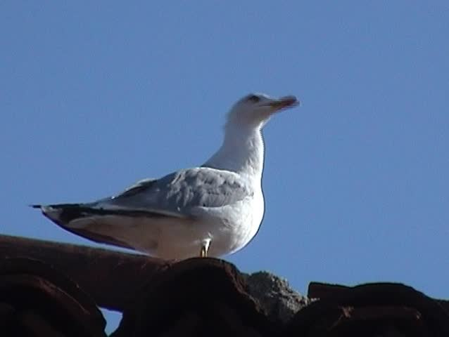 Seagull sits on a roof and watches around | Shutterstock HD Video #71863