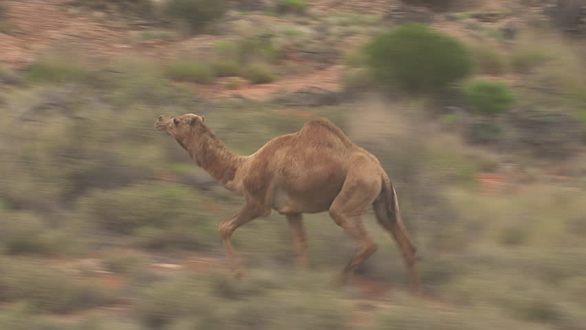 Herd of Australian Feral Camels walking through the dry outback | Shutterstock HD Video #7198189
