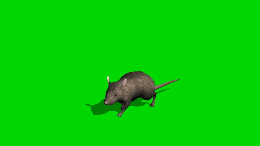 Gray rat runs - green screen | Shutterstock HD Video #7253335