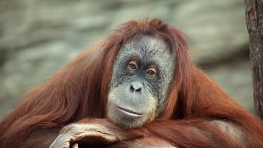 A calm and peaceful orangutan female is sitting on shaky platform and looking around. Beauty of the wildlife in the amazing HD footage. Orange monkey with human expression on rock background.