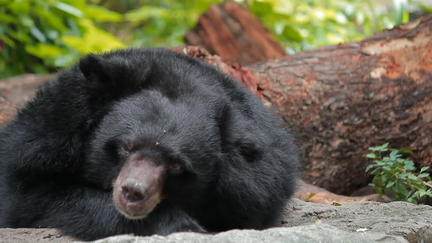 The Asian black bear also is known as the moon bear, and white-chested bear is a medium-sized bear species native to Asia and largely adapted to arboreal life