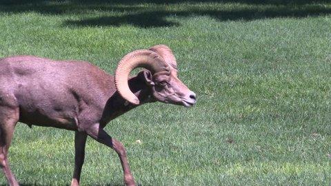 Desert Bighorn Sheep in Rut