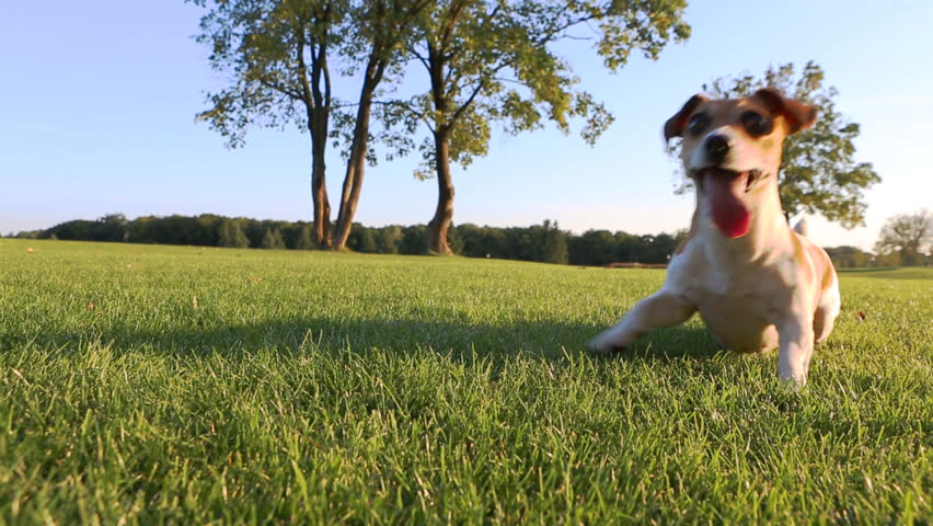 Agitated young healthy active dog dance on a green field with trees. Cute Jack Russell Terriers best dogs! | Shutterstock HD Video #7270912