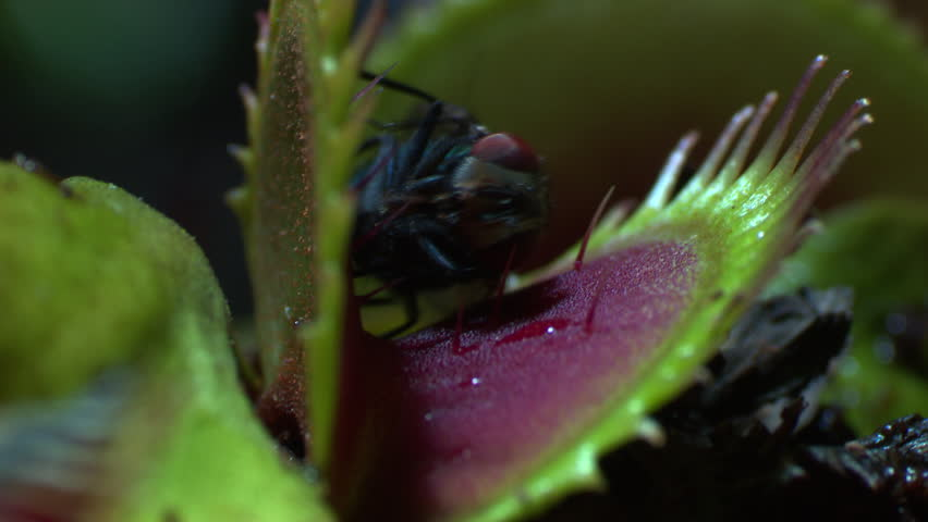Close up of a Venus Flytrap catching a fly