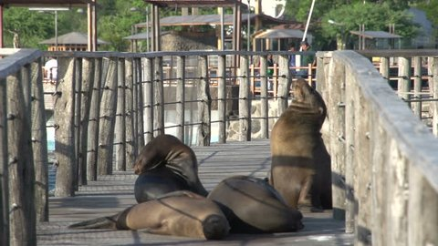 Sea lions at the pier in San Cristobal, Galapagos Islands, Ecuador