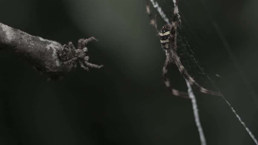 Portia Spider attacking St Andrew's Cross Spider #7340074