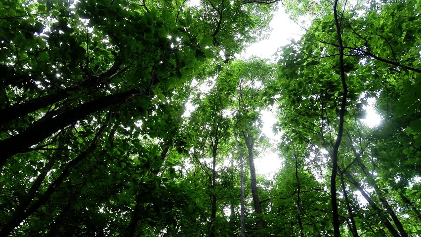Green leafy trees in forest looking up to the sky - Sun shining through treetops | Shutterstock HD Video #7352635