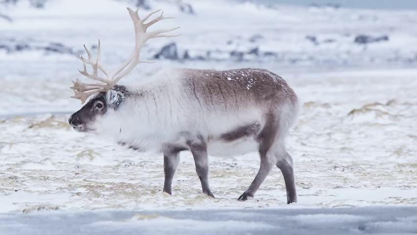 картинки полярного оленя специально готовил, что