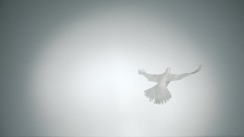 White bird flapping shot with high speed camera, phantom flex.