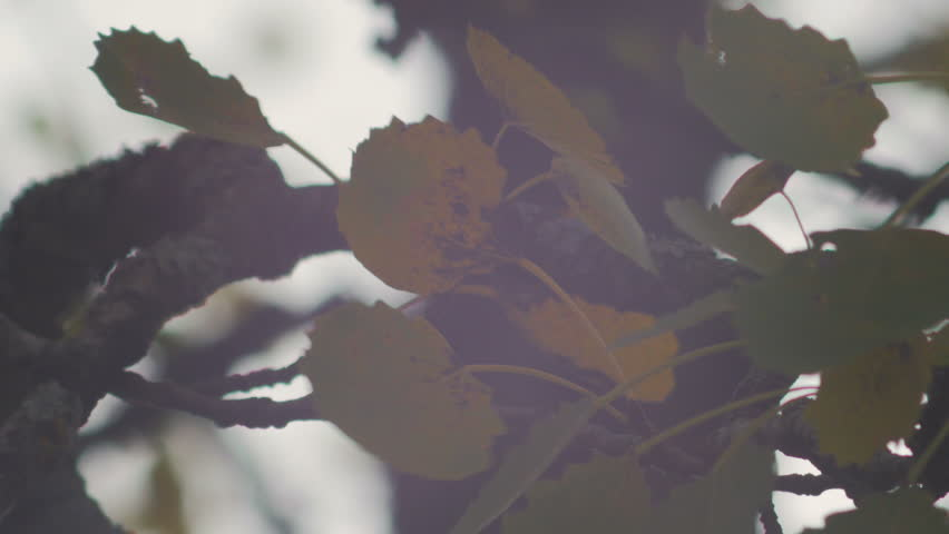 Eurasian aspen (Populus tremula) leafs and branches in Autumn. Cloudy and windy day. | Shutterstock HD Video #7608463