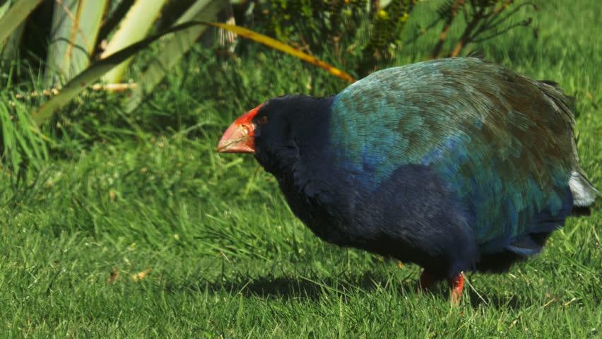 Header of takahe