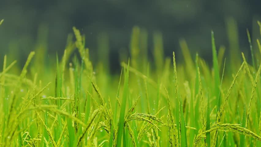 Green ripe rice on field under rain  | Shutterstock HD Video #7643647