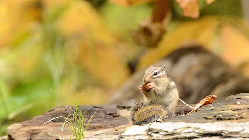 Siberian Chipmunk eating an acorn.