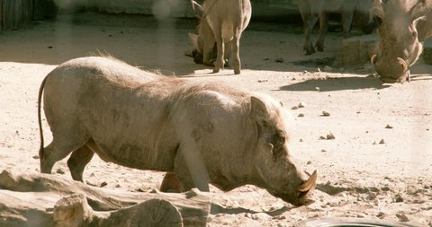 A small desert warthog walking and then lying on the mud. The desert warthog is a species of even-toed ungulate in the pig family