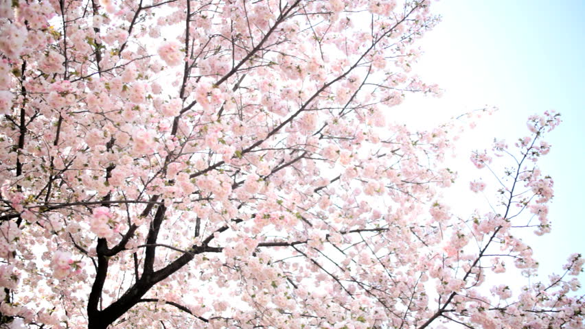 Pink Japanese Cherry Blossom Sakura Trees Fruit Tree Shinjuku