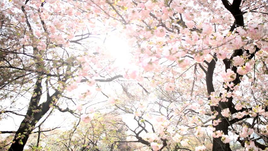 Pink Japanese Cherry Blossom Sakura Trees Fruit Tree Shinjuku