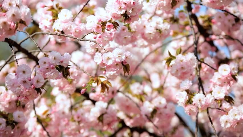 Japanese Sakura Trees Pink Cherry Stock Footage Video 100