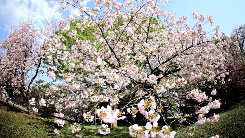 Tree Cherry Blossom Japanese Sakura Trees White Fruit Shinjuku