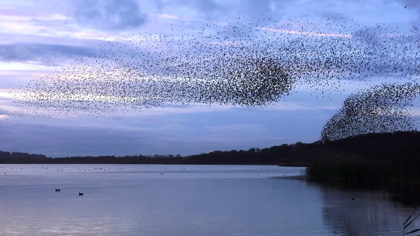Starlings flock together on lake at sunset nature background - Aqualate Mere, Staffordshire, England: November 2014 -  02666698  | Shutterstock HD Video #7803658