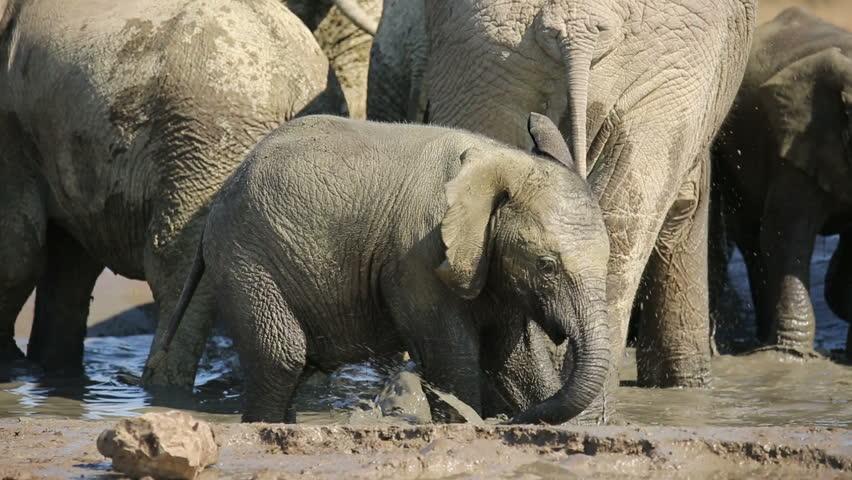 Playful African elephant baby (Loxodonta africana) splashing water, Addo Elephant National Park, South Africa   Shutterstock HD Video #7805155