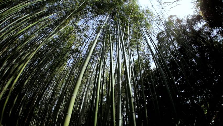 Bamboo rainforest natural environment sunlight Sagano Japanese plant harvest tree travel tourism business Arashiyama Kyoto Japan Asia | Shutterstock HD Video #7808533