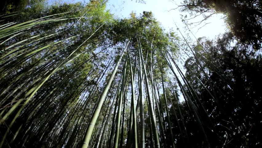 Bamboo forest natural environment construction material sunlight Sagano Japanese canopy harvest travel Arashiyama Kyoto Japan Asia | Shutterstock HD Video #7808626