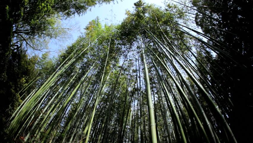 Sagano Japanese bamboo rainforest environment natural sunlight building material plant travel Arashiyama Kyoto Japan Asia | Shutterstock HD Video #7808641
