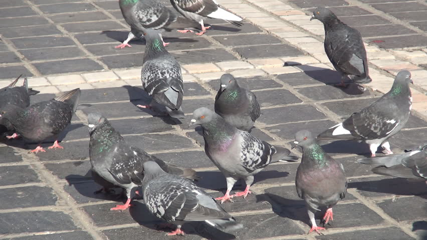 ROMANIA. BRASOV, OCTOBER 20, 2014: A flock of pigeons looking for food and play in the Square in a sunny day. | Shutterstock HD Video #7837732