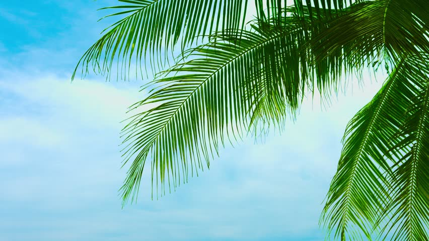 Leaves Of A Coconut Palm Stock Footage Video 100 Royalty Free 7863361 Shutterstock