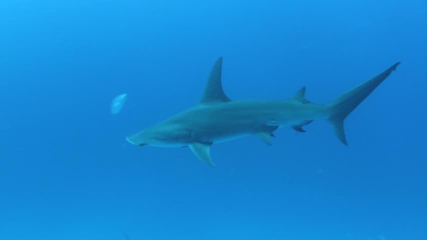 The Great Hammerhead Shark (Sphyrna mokarran) is the largest species of hammerhead shark.  | Shutterstock HD Video #788209