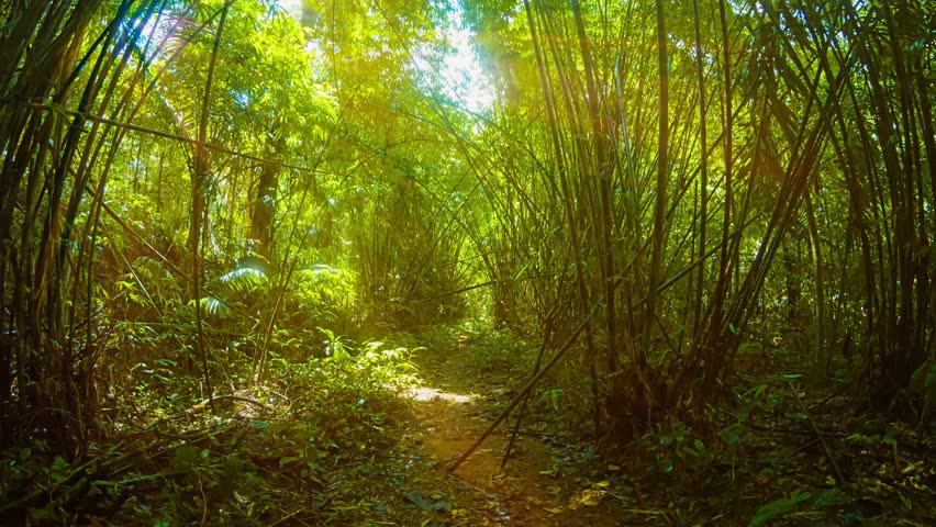 Video 1080p - Following a wild trail at a quick pace through a natural tunnel formed by tall. overhead stands of bamboo. The sun is shining obliquely through the stalks and leaves. | Shutterstock HD Video #7968430