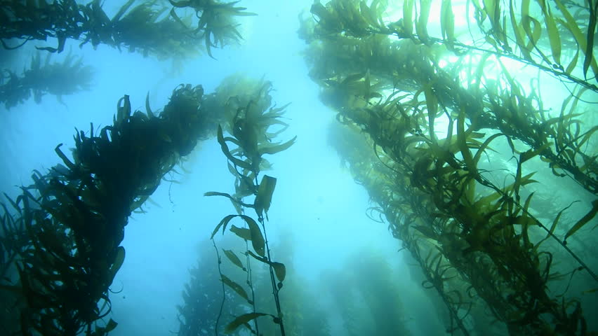 Swimming through thick kelp beds in southern California shows the beauty of the underwater forest. | Shutterstock HD Video #7985782