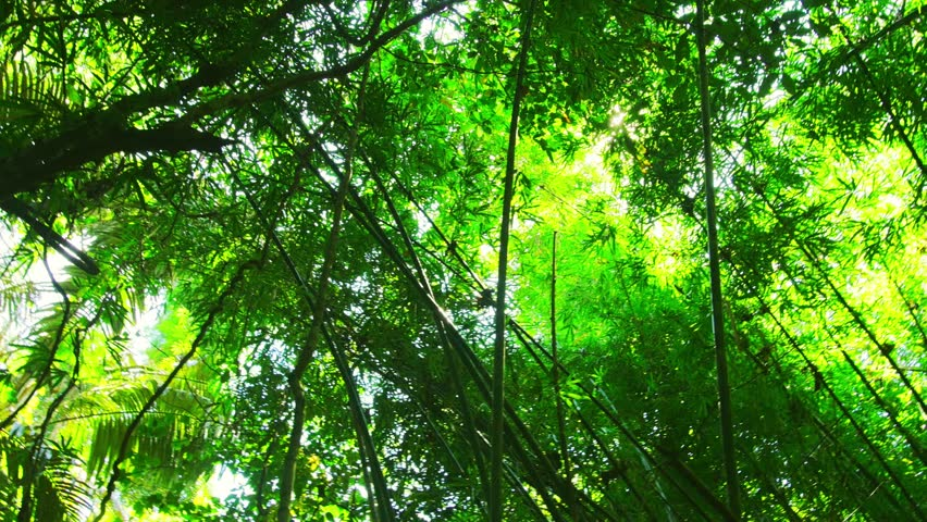 Sun through bamboo branches in evergreen forest of Thailand  | Shutterstock HD Video #8003797