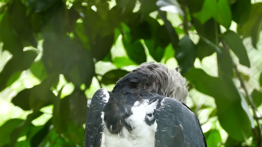 4K UHD - Harpy Eagle (Harpia harpyja) looking towards camera with bits of feather stuck in its bill #8100055