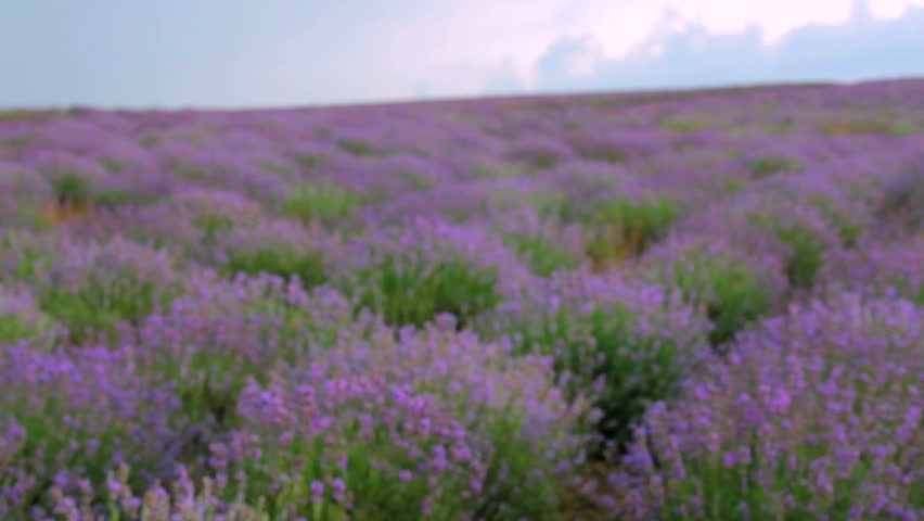 Beautiful lavender field. Beautiful flowering bushes of lavender. Camera falls from the top to the bottom of the bushes.