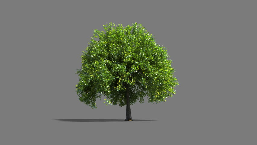 Growing tree timelapse with alpha matte for tree and shadow.