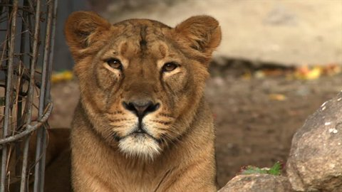 Long eye contact with a young lioness, lying between latticed bush and boulders. The biggest cat of the world, horoscope symbol close up. Amazing beauty of the wildlife in the HD footage.