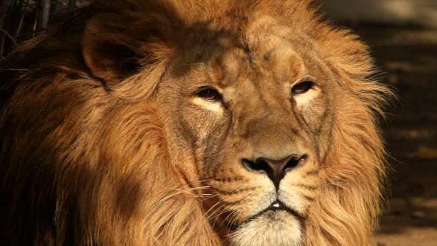 Sunny face of an Asian lion on shadow background, falling asleep. King of beasts, the biggest cat of the world, horoscope symbol close up. Amazing beauty of the wildlife in the HD footage.