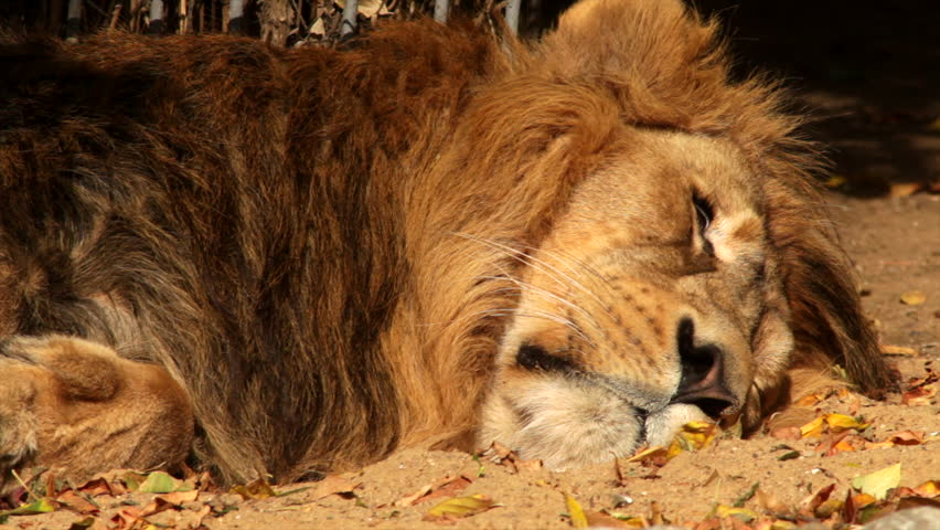 A shaggy lion close up, sleeping in shadow background. Dreams of the King of beasts, the biggest cat, horoscope and zodiac symbol. Amazing beauty of the wildlife in the excellent HD footage.   Shutterstock HD Video #8169724