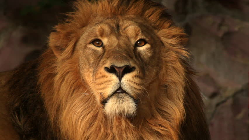 Eye contact with drowsy Asian lion in sunset light close up. Peaceful King of beasts, the biggest cat of the world, horoscope and zodiac symbol. Amazing beauty of the wildlife in excellent HD footage.