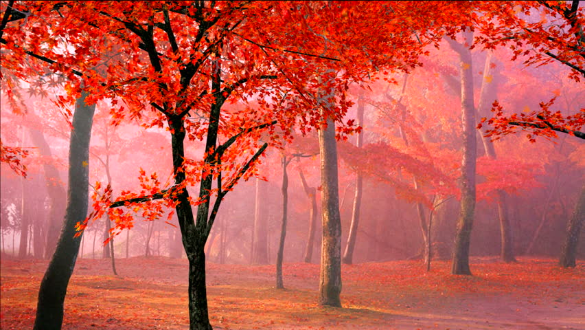 Red Maple Leaves Falling From Stock
