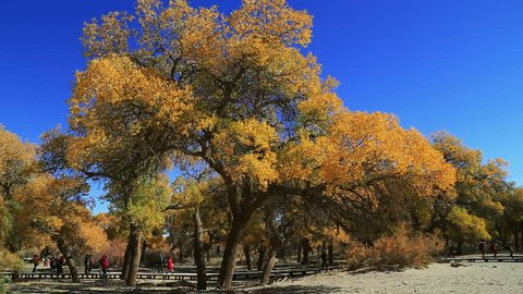 Populus euphratica forest in autumn in Ejina,Inner Mongolia,China