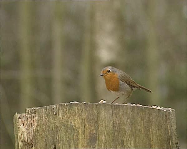 European Robin (Erithacus rubecula) perched on a log feeding on bird seed - wide shot. | Shutterstock HD Video #8277931