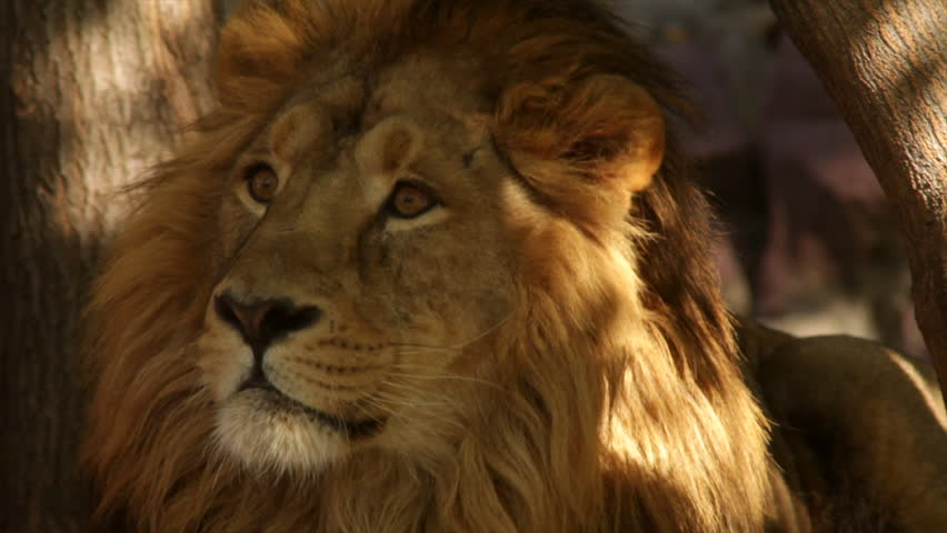 Attentive look of a lion close up on tree shadow background. Sunshine spots on the King of beasts, biggest cat, horoscope and zodiac symbol. Amazing beauty of wildlife in the excellent HD footage. | Shutterstock HD Video #8287531