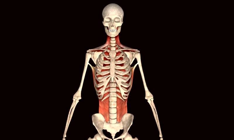 Skeleton bone muscle | Shutterstock HD Video #8326273